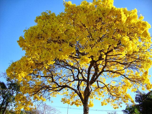 Árvores floridas provocam redução de velocidade